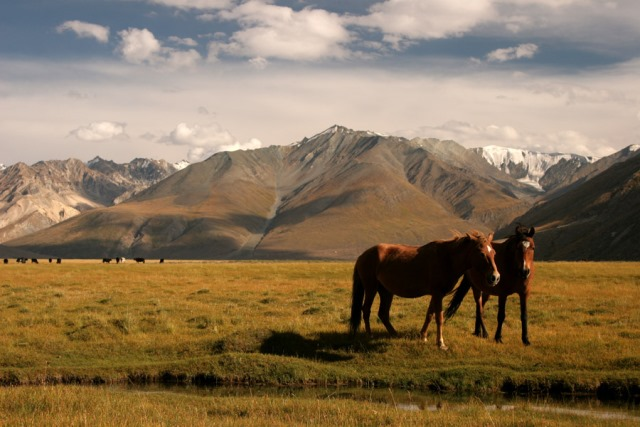 Wild horses on the Rangdum Plains, Ladakh.