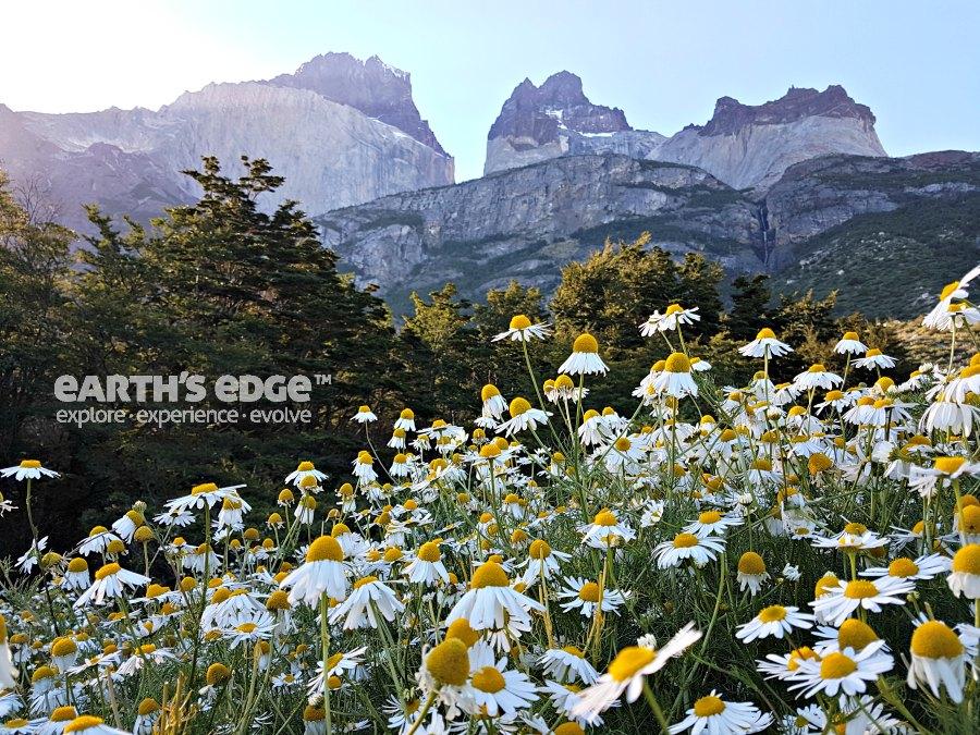 Patagonia - Daisies