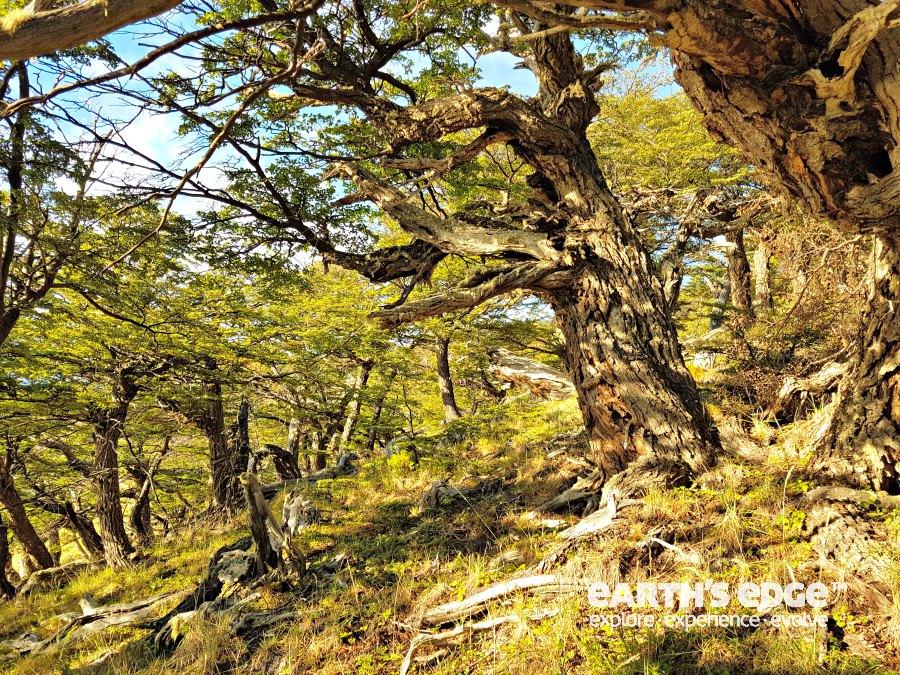 Patagonia - Lenga trees