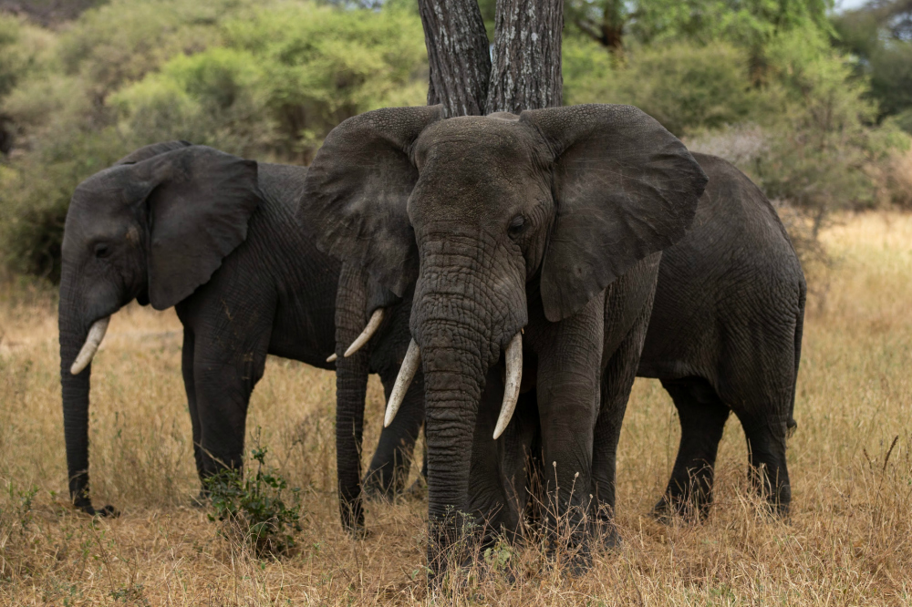 African Elephant are very big!