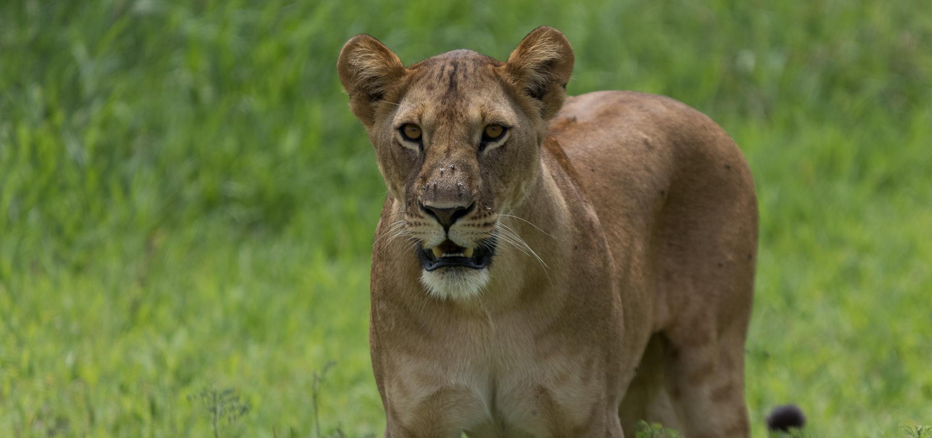 Lion Kilimanjaro safari