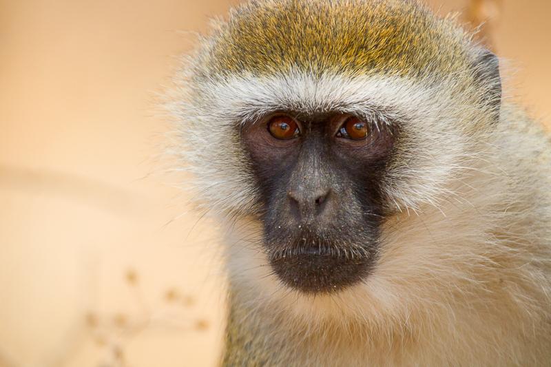 Monkeys on safari