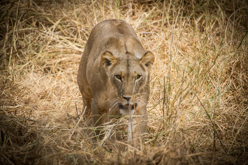 Lion on expedition photography