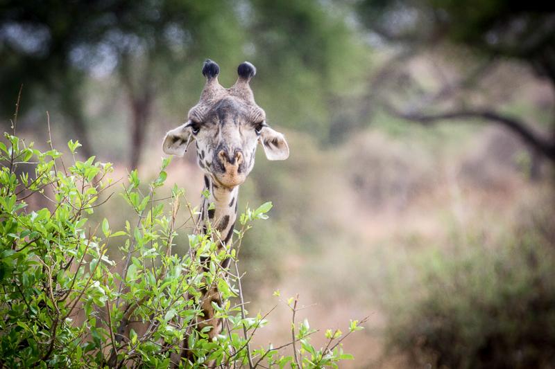 Giraffe expedition photography