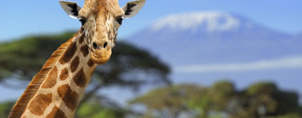 Giraffe in front of Kilimanjaro, Earth's Edge safari expedition