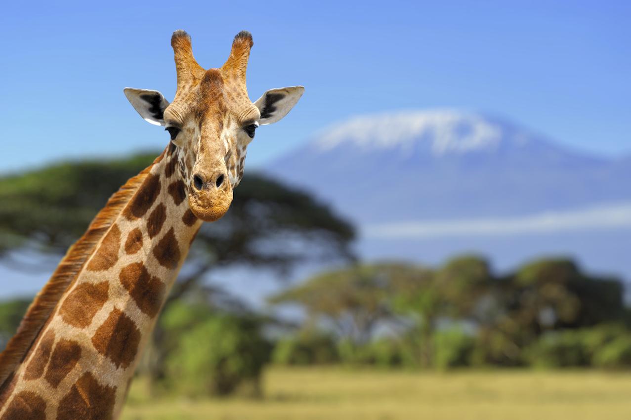 Giraffe in front of Kilimanjaro, Earth's Edge safari expedition